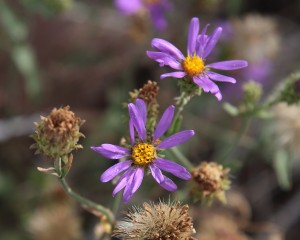 Late-blooming asters