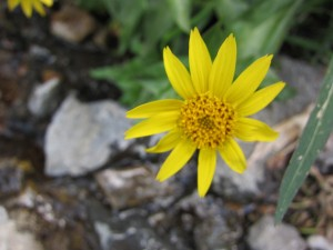 Arnica daisies still blooming in Lundy Canyon