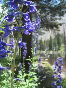 This larkspur was taller than I am.