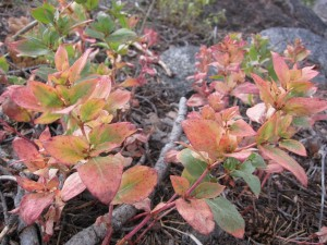 The first colors of fall on the Winnemucca Lake Trail