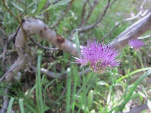 Wild Onion on the trail to Cooney Lake.