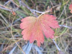 Hope Valley Little Red Leaf