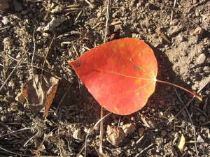 Hope Valley Red Leaf