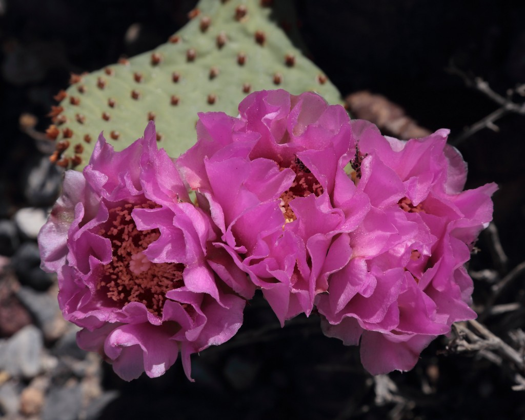 Beavertail Cactus in Death Valley
