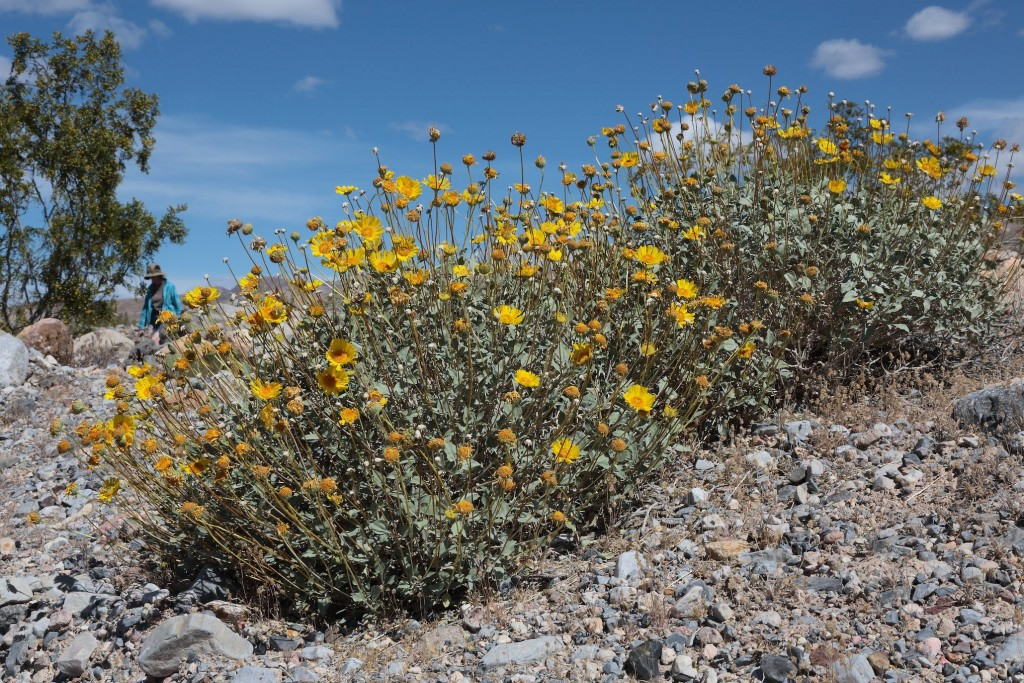 Brittlebush, Scotty's Castle Road, Death Valley