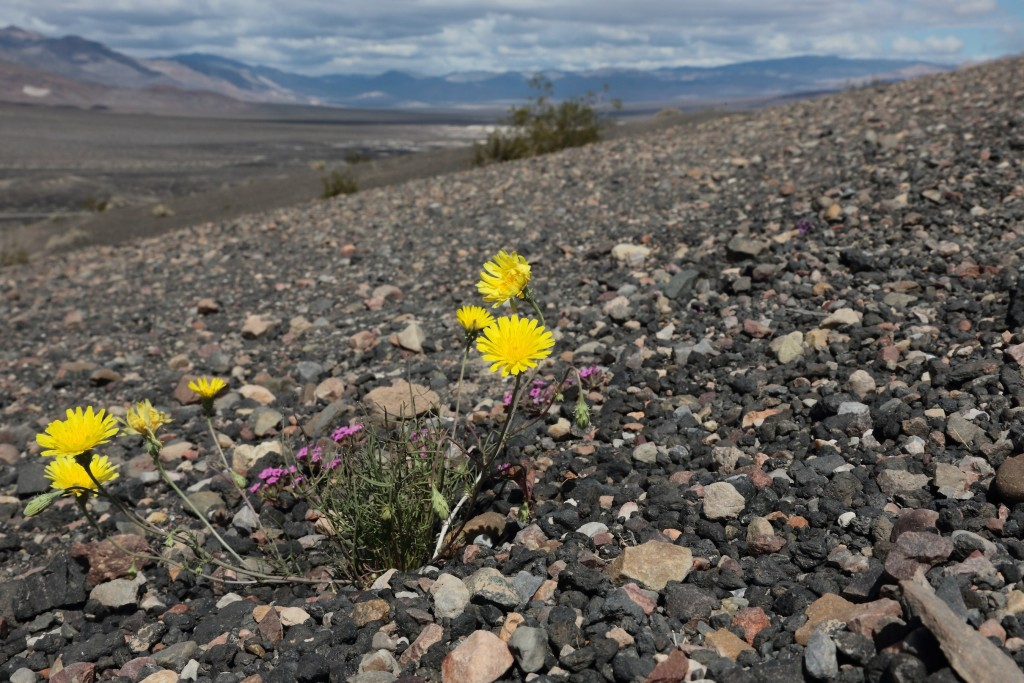 Desert Dandelion, Death Valley