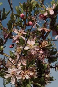 Desert Peach on Carson Valley Trails