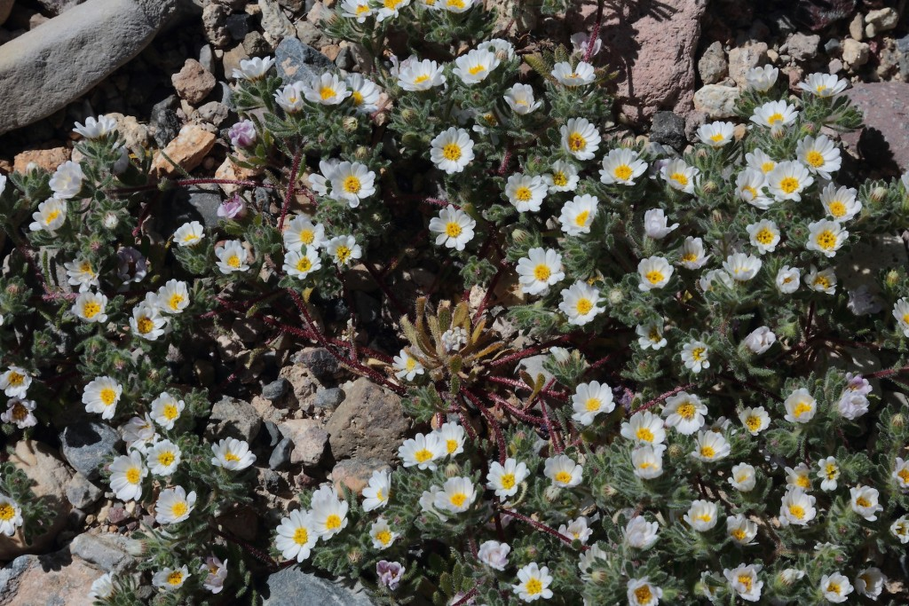 Wildflowers, Death Valley
