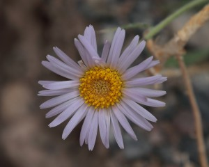 Mojave Aster, Death Valley