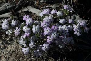 Mountain Phlox Job's Peak Ranch Trail
