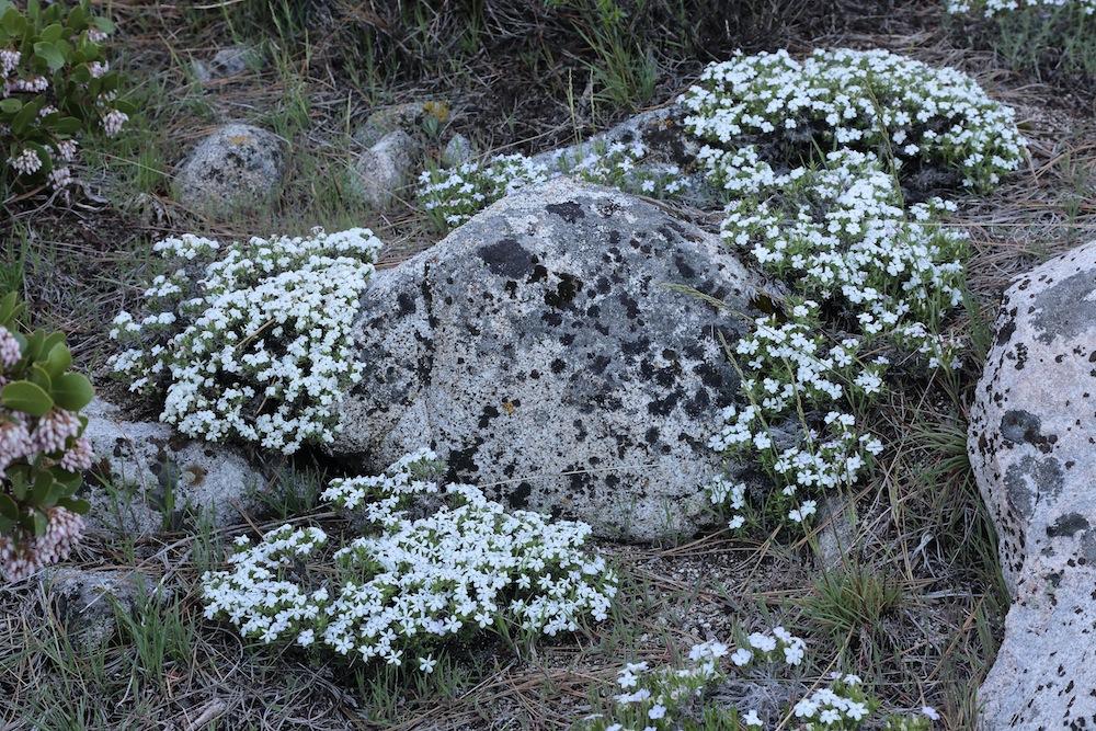 Mountain Phlox Rock Garden