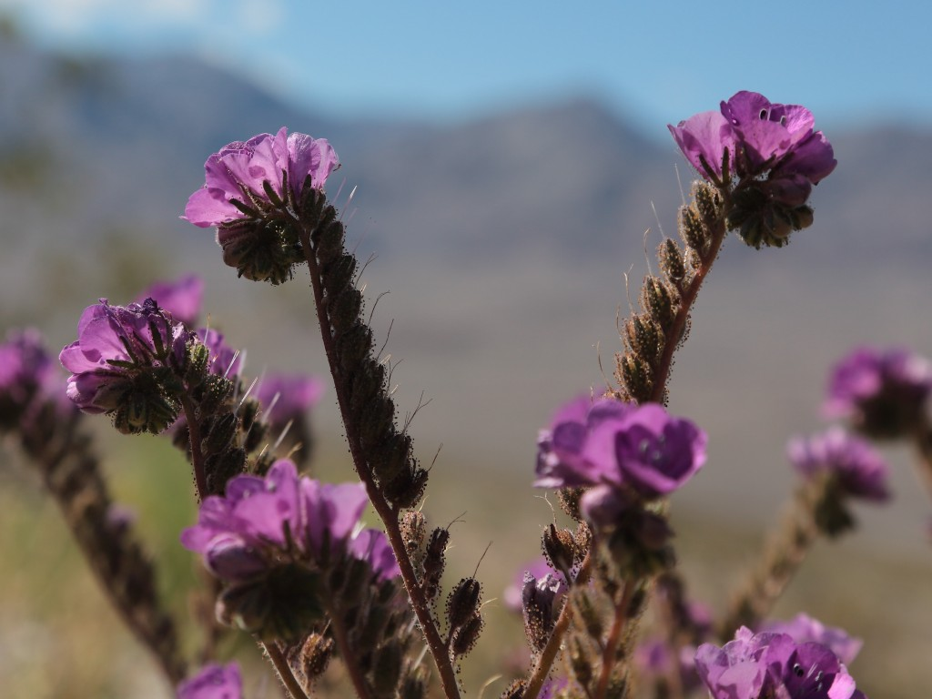Phacelia in Death Valley