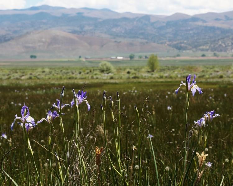 Wild Irises Near Coleville